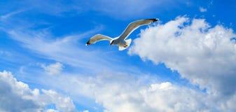 La gaviota del vuelo Foto de archivo libre de regalías