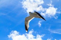 La gaviota del vuelo Fotografía de archivo libre de regalías