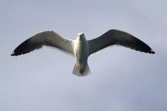 La gaviota en el cielo Fotos de archivo