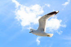 La gaviota en el cielo Imágenes de archivo libres de regalías