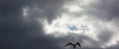 La gaviota en vuelo contra un cielo oscuro, presentimiento, se guarda fotografía de archivo libre de regalías