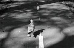 La gaviota está caminando solamente abajo de la calle fotografía de archivo libre de regalías