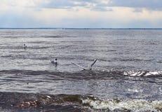 La gaviota está cazando para los pescados en el mar imagen de archivo