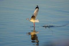 La gaviota está volando para arriba de la superficie del mar Imágenes de archivo libres de regalías