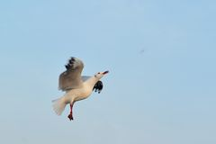La gaviota está volando para comer la comida durante puesta del sol Imagen de archivo