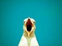 La gaviota grita el alimento Fotos de archivo