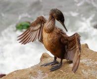 La gaviota juvenil concentra en el principio para separar las alas para ayudar a plumas secas Imagen de archivo libre de regalías