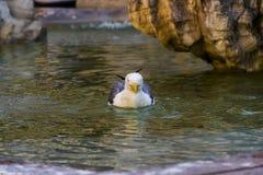 La gaviota nada en fuente Fotos de archivo