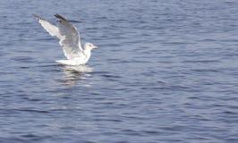 La gaviota se prepara para tomar vuelo Fotografía de archivo libre de regalías