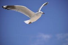 La gaviota se va volando para arriba Foto de archivo libre de regalías