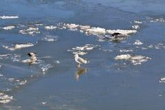 La gaviota y los cuervos están caminando a lo largo del río congelado imagen de archivo