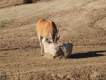 La gazelle boit l'eau Photos libres de droits