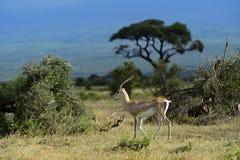La gazelle de Grant Photos libres de droits