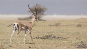 La gazelle de Grant dans le domaine aride photos stock