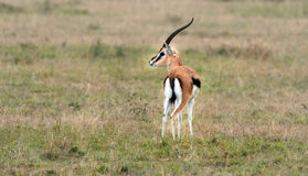 La gazelle de Thomson Images libres de droits