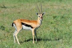 La gazelle de Thomson photographie stock
