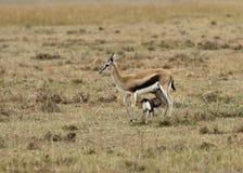 La gazelle de Thomson de soins Images stock