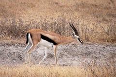 La gazelle de Thomson - mâle Photos libres de droits