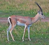 La gazelle de Thomson mâle Photo libre de droits