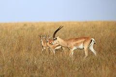 La gazelle du ` s de Grant Images stock