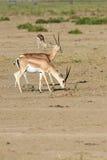 La gazelle du ` s de Grant Photographie stock libre de droits