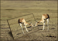 La gazelle et le miroir de Grant Photo stock