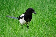 La gazza ha aperto il becco, camminante nell'erba verde della molla fresca ornitologia fotografia stock