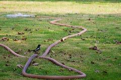 La gazza si è appollaiata su un vecchio tubo flessibile nell'iarda Fotografie Stock