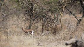 La gazzella di Soemmerring nell'area folta stock footage