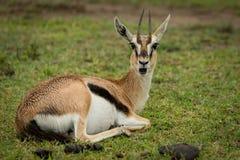 La gazzella di Thomson apre la bocca che si trova sull'erba Fotografia Stock