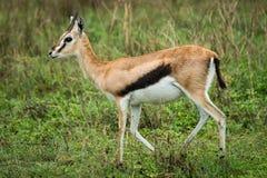 La gazzella di Thomson cammina erba alta diretta da destra a sinistra Fotografia Stock