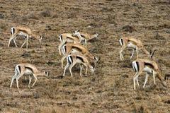 La gazzella di Thomson che si alimenta in pioggia Fotografia Stock