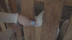 La gente alimenta la capra del bambino nello zoo o nell'azienda agricola video d archivio