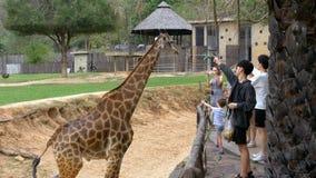 La gente alimenta la jirafa de las manos en el parque zoológico abierto de Khao Kheow tailandia metrajes