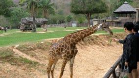 La gente alimenta la jirafa de las manos en el parque zoológico abierto de Khao Kheow tailandia almacen de metraje de vídeo