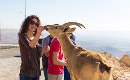 La gente alimenta la cabra de montaña salvaje Foto de archivo libre de regalías