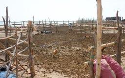 La gente asciuga lo sterco di mucca per preparare il letame immagine stock