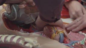 La gente attivamente ha un i pezzi dell'organo di modello umano di plastica dell'anatomia in scatola stock footage