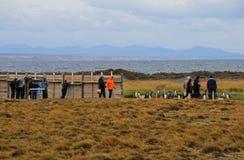 La gente che guarda vivere dei pinguini di re selvaggio a Parque Pinguino Rey, Patagonia, Cile Immagine Stock Libera da Diritti
