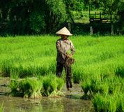 La gente che lavora al giacimento del riso nel Vietnam Fotografia Stock Libera da Diritti