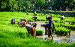 La gente che lavora al giacimento del riso nel Vietnam Fotografie Stock