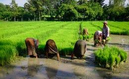 La gente che lavora al giacimento del riso nel Vietnam Fotografie Stock Libere da Diritti