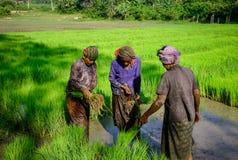 La gente che lavora al giacimento del riso nel Vietnam Immagini Stock