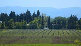 La gente che lavora nella vigna, produzione vinicola casalinga, piccola impresa, occupazione archivi video