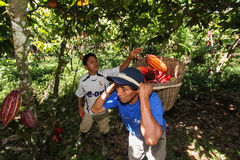 La gente che raccoglie i baccelli del cacao Fotografie Stock Libere da Diritti