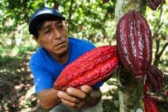 La gente che raccoglie i baccelli del cacao Immagini Stock Libere da Diritti