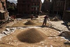 La gente che raccoglie il bhaktapur Kathmandu del riso immagine stock libera da diritti