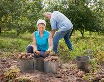 La gente che raccoglie le patate nel campo Fotografia Stock Libera da Diritti