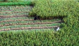 La gente che raccoglie riso nel Nepal, vista da sopra Immagini Stock Libere da Diritti