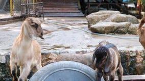 La gente con erba per alimentare e dare erba alle capre allo zoo video d archivio